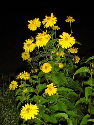 Yellow Signflowers